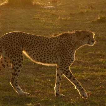 Cheetah female at sunset