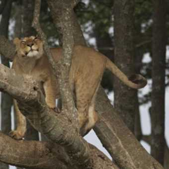 Lion getting a higher viewpoint