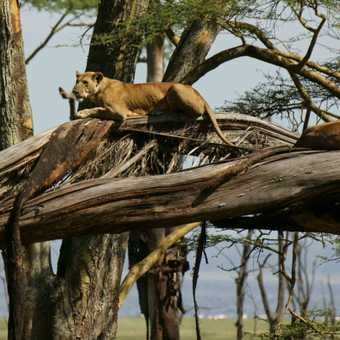 Lions up a tree, whatever next! Common behaviour amongst the lions in Lake Nakuru National Park.