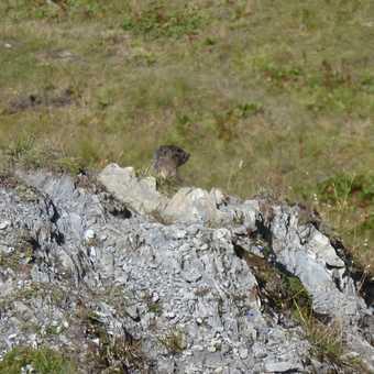 An elusive marmot