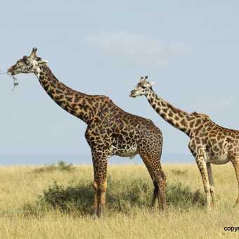 Cheetah Mother