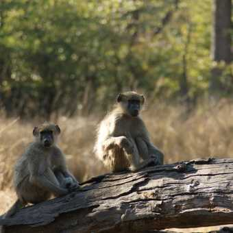 trio of baboons