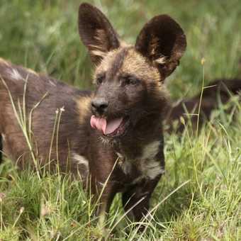 Wild dog pup - taken at Laikipia (extn to trip)