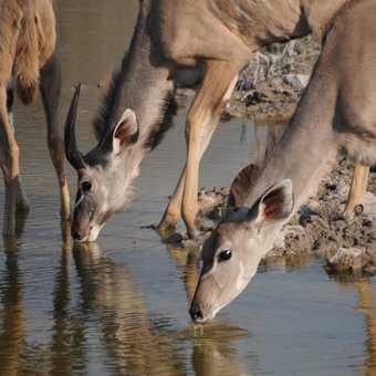 Kudu Drinking, Etosha