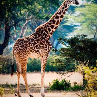 Rotheschilds Giraffe