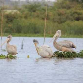 Pelican Crossing! - Lake Nakuru