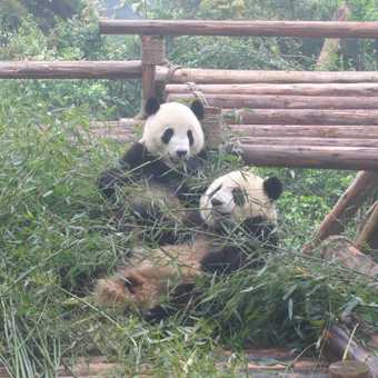 Pandas at Chengdu Reserve