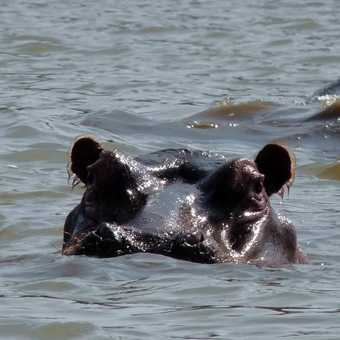 Hippo at Lake Naivasha