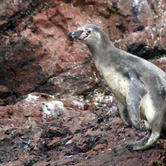Humboldt penguin, Ballestas Islands