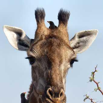 Giraffe and Oxpeckers