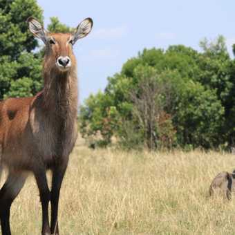 Mr and Mrs Waterbuck