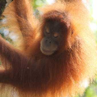 Sumatra - palm oil harvesting