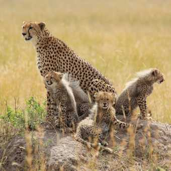 Cheetah & Cubs, Masai Mara
