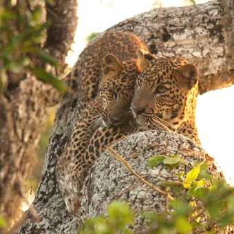 Cuddling Leopard Cubs