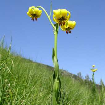 Yellow Mountain Lily