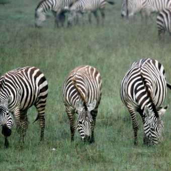 Young male lions - L Nakuru