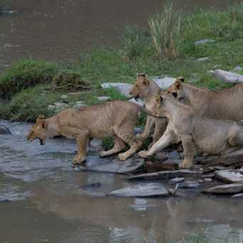 Lions don't like water!