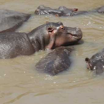 Hippo grins