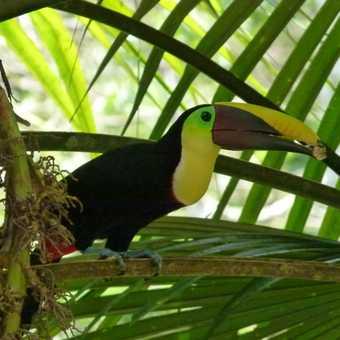 toucan chestnut mandibled at Esquinas Lodge Costa Rica