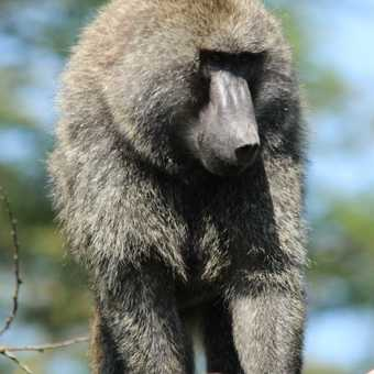 Baboon at Lake Nakuru