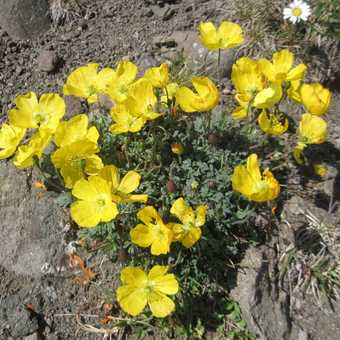 Many alpine flowers out in mid July
