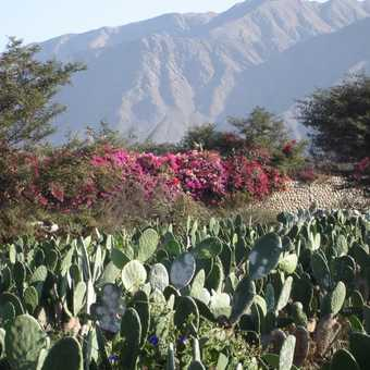 Cacti hosting Cochineal