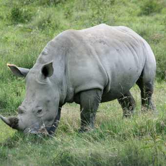 Rhino - L Nakuru