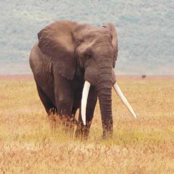 Ncorongoro crater ..... bull elephant