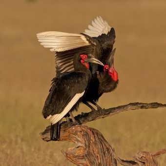 Hornbill Pair