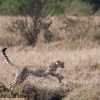 leaping cheetah