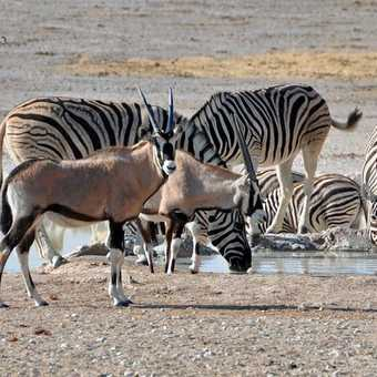 Oryx and Zebra at waterhole - Etosha