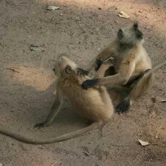 fighting langur monkeys, Ranthambore
