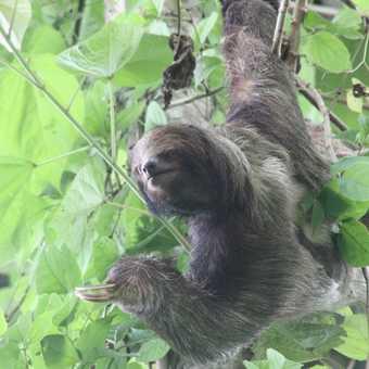 Three toed Sloth