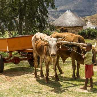 Ploughing with cattle - Malealea, Lesotho