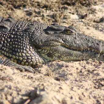 Crocodile - Chobe