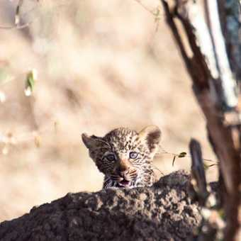 Leopard cub looking out