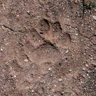 The pug mark of a snow leopard - the nearest we got to one!
