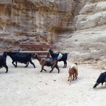 Goats at Little Petra
