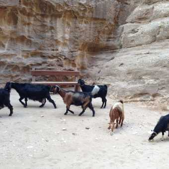 Goats at Little Petra