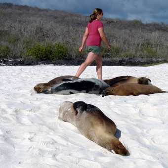 Sealions rest and warm up on the beach at Gardner Bay and just ignore the tourists as the wander pas