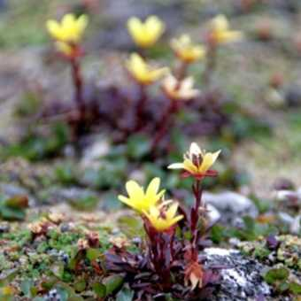 Flowers springing up all over the springy tundra of Bournbonhamna... saxifraga I think.