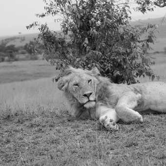 masia mara reaxation with a lion