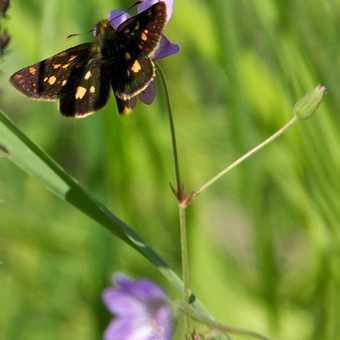 Butterflies - Chequered Skipper