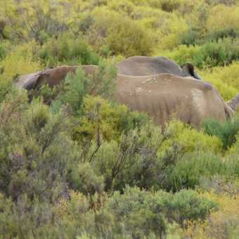 Lions at Aquila Game Reserve