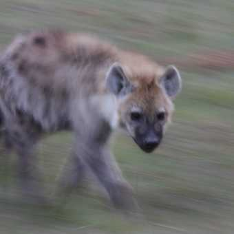 Slow pan hyena