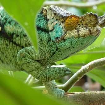 Parson's Chameleon