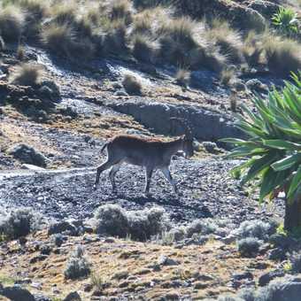 Wallia Ibex