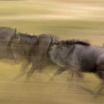 Wildebeest Impression