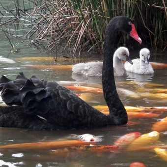 blackk swan, panda breeding centre Chengdu