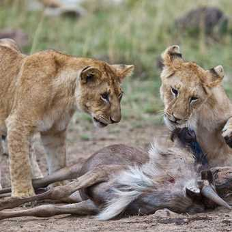 Lion Cubs Playing with their Food